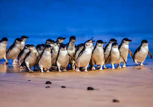 The world famous Penguin Parade...
