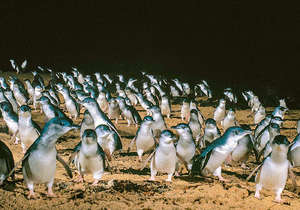 The world famous Phillip Island Penguin Parade...