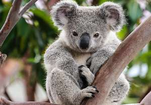 Don't miss the Koala Conservation Centre...