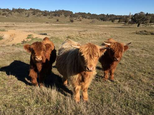Lovely Highland Coos