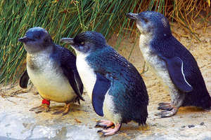 Be sure to see the world famous Penguin Parade