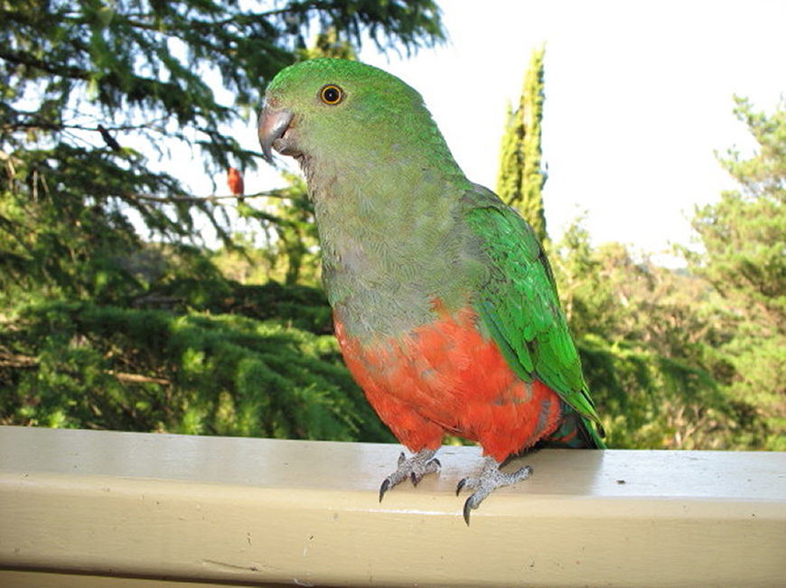 King parrots are regular visitors to Cloudlands