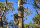 Don't miss the Koala Treetop Walk