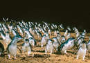 The Phillip Island Penguin Parade is a must see...