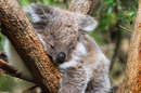 See the koalas at the Koala Conservation Centre