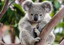 Koala at the Sanctuary...