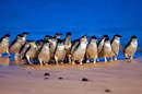 The world famous Phillip Island Penguin Parade