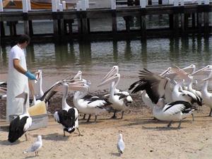 Pelican Feeding Show